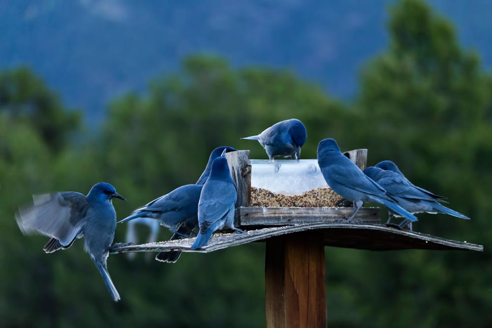 Blue Jays in Crestone - photo by Michael V. Khalsa